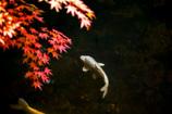 紅葉と色鯉