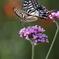 蝶よ花よ(1)