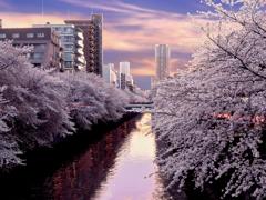 目黒川の桜並木 t