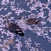 桜散る井の頭池
