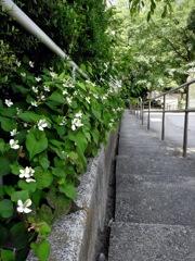 階段沿いに咲くドクダミ