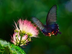 合歓の木とクロアゲハ蝶
