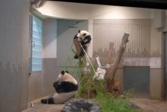 2018.07.14 上野動物園 シャンシャン その7