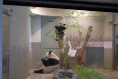 2018.07.14 上野動物園 シャンシャン その10