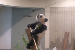 2018.07.14 上野動物園 シャンシャン その6