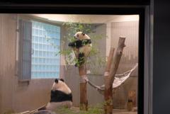 2018.07.14 上野動物園 シャンシャン その1