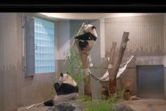 2018.07.14 上野動物園 シャンシャン その2