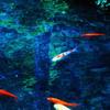 絵画のような池の鯉