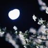 月夜桜 出逢い
