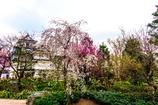 枝垂桜 春の富山城