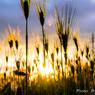 黄金色に輝く麦たち