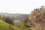 山合いに咲く桜