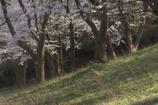 桜舞い散る 薬勝寺池