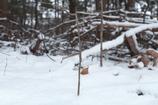 凍てつく森のトンボ