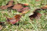 落ち葉は暖かい?