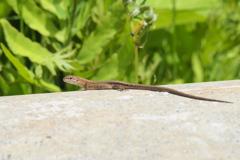 カナヘビさんは日向ぼっこ中