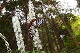 サラシナショウマの咲く林にて