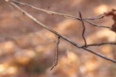森の中のホソミオツネントンボ