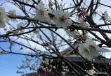 20170308_六弁花