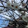 APPLE iPhone 6で撮影した(20170308_六弁花)の写真(画像)