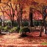 CANON Canon EOS 40Dで撮影した(20141125_化野念仏時の紅葉絨毯 )の写真(画像)