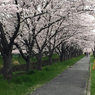 APPLE iPhone 6で撮影した(20150403_京桜 Now! by iPhone6 )の写真(画像)