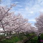 CANON Canon iVIS mini Xで撮影した(20160405_防賀川の桜苑)の写真(画像)