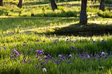 花しょうぶ咲く朝