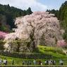 奈良県宇陀の又兵衛桜