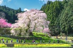 後藤又兵衛邸宅跡に咲く桜の大木