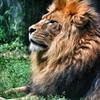 ライオン王様
