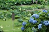 紫陽花と蓮池