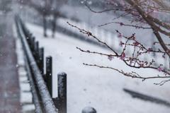早咲きの桜と雪