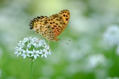 ニラの花とツマグロヒョウモン