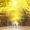 北海道大学北十三条門銀杏並木