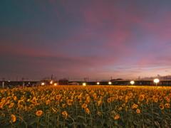 向日葵の黄昏