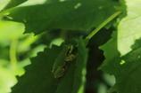 葉っぱの上のアマガエル