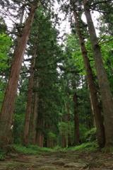 聳え立つ杉並木