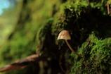 苔の森のキノコ