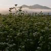 朝露と白花