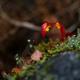 苔の中で新芽も色づく