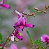 萩-秋の七草