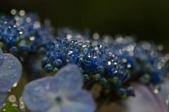 雨アジサイは宝石の煌き