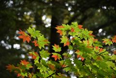 絵ガラスのような紅葉