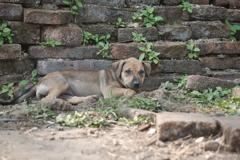 ワット・プラ・シーサンペットの犬