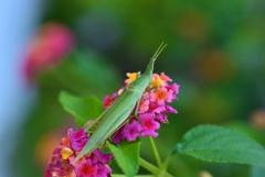 Grasshopper & Lantana
