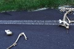 道端に謎の骨