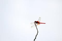 見沼自然公園 猩々蜻蛉?