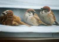 NIKON NIKON D3200で撮影した(冬日に暖をとるスズメ達)の写真(画像)