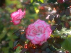薔薇の輝き